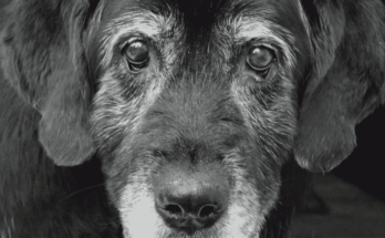 Close up face old black labrador retriever suffering with dog dementia
