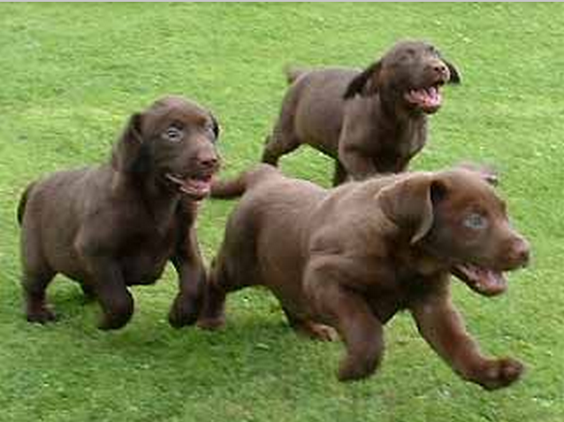 labrador puppies playing