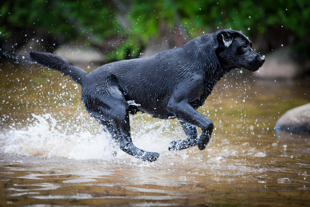 Great to Watch 23 Pictures of Labrador Retrievers in Action