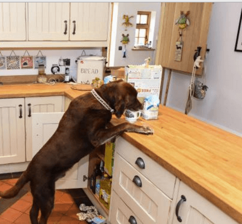 labrador-retriever-stealing-food-in-kitchen