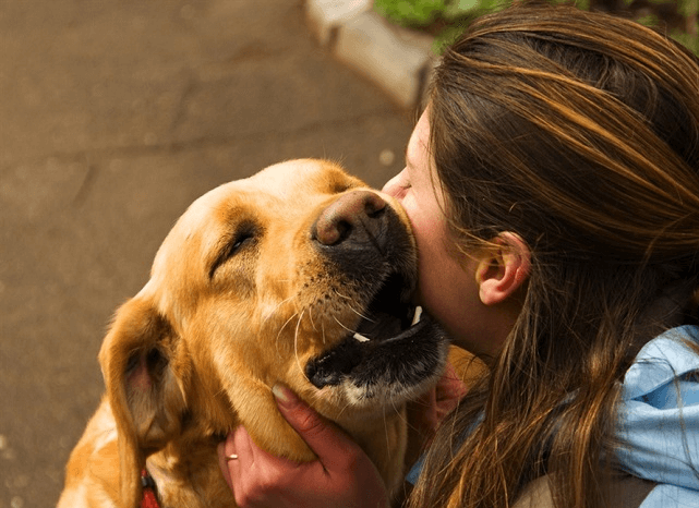 yellow-labrador-retriever-rubbing-faces-with-woman
