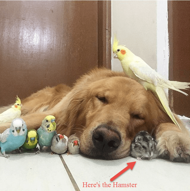 golden-retriever-with-birds-and-hamster