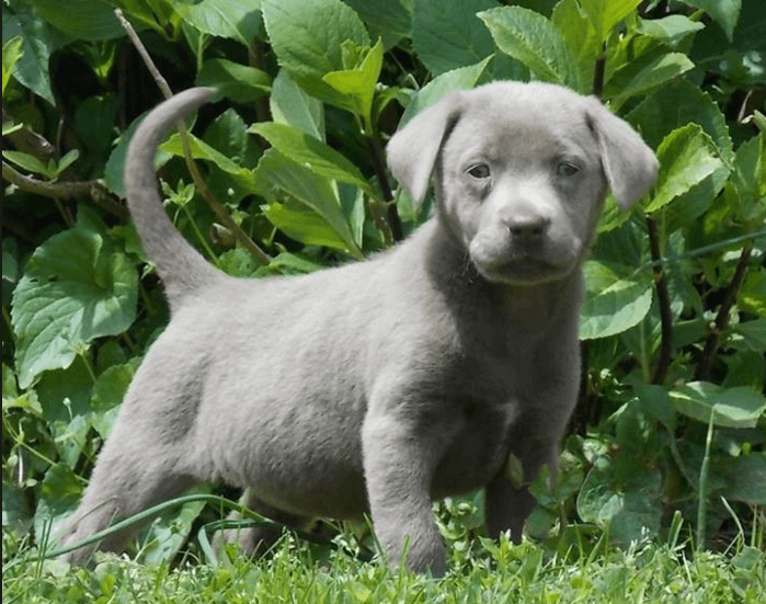silver-labrador-puppy-in-the-garden