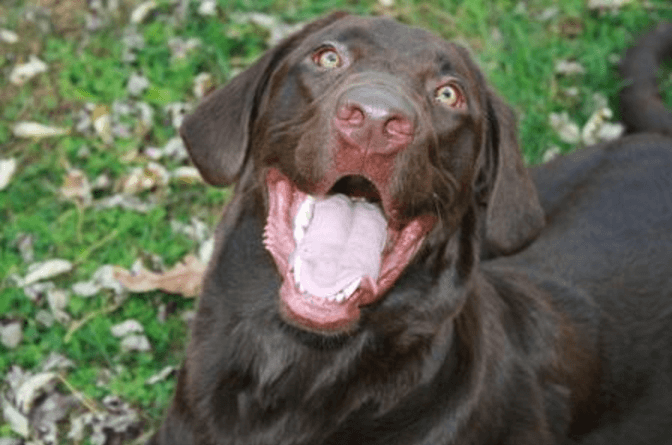 brown-labrador-retriever-happy-face