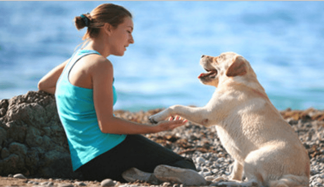 senior-yellow-labrador-retriever-giving-paw-to-a-woman-on-the-beach