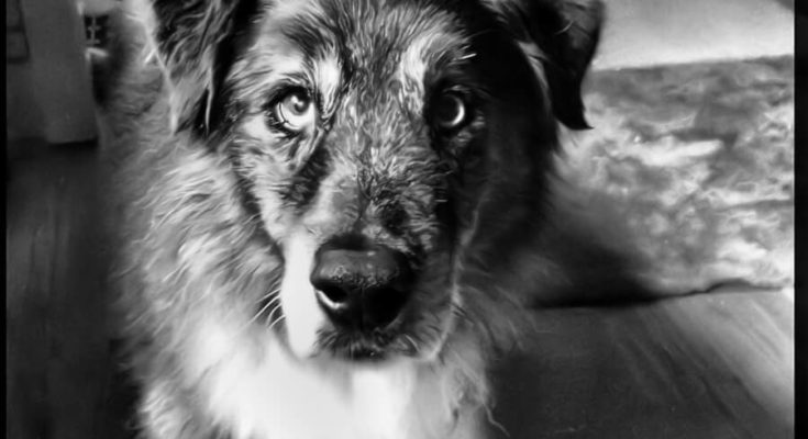 Canine Cognitive Dysfunction | Symptoms and Treatment