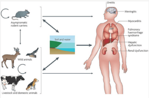 How Leptospirosis is transmitted