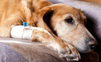 Labradors Prone to Cancer