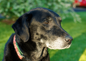 Labradors Prone to Cancer