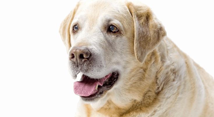 rimadyl side effects labrador retriever II