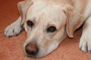 rimadyl side effects labrador retriever