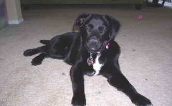 Borador-Labrador-Border-Collie-Mix